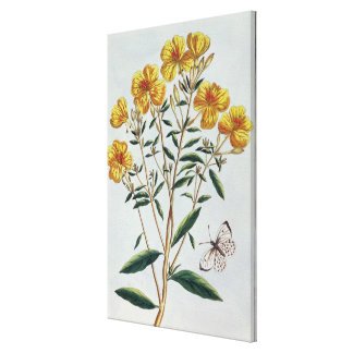 Evening Primrose, plate 73 from 'Collection Precie Canvas Print