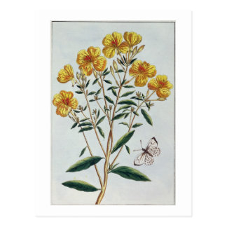 Evening Primrose, plate 73 from 'Collection Precie Postcard
