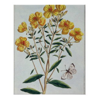 Evening Primrose, plate 73 from 'Collection Precie Print