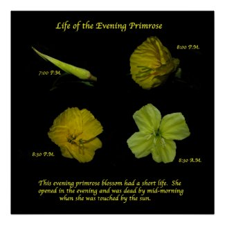 Evening Primrose print