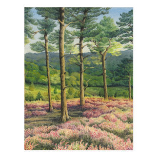 Evening Sun, Surrey Hills Pines Postcard