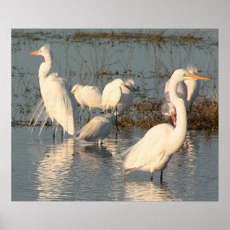 Everglades,egrets1 Poster