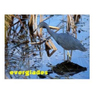 Everglades National Park Little Blue Heron Postcard