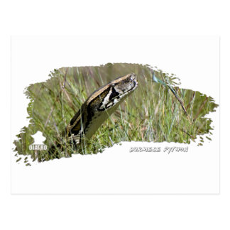 Everglades Pythons 02 Postcard