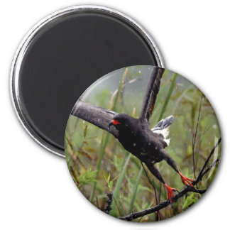 Everglades Snail Kite #1 magnet
