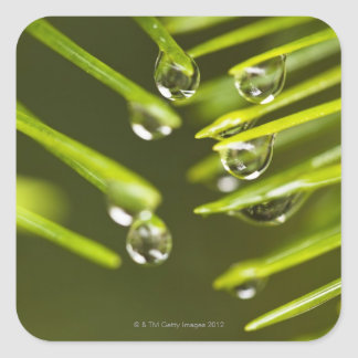Evergreen needles and rain droplets square sticker