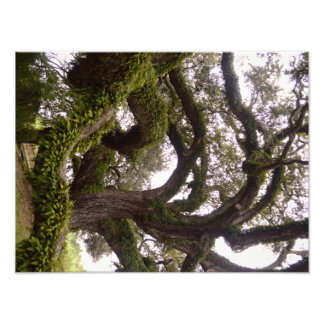 Evergreen Oak Photo Print