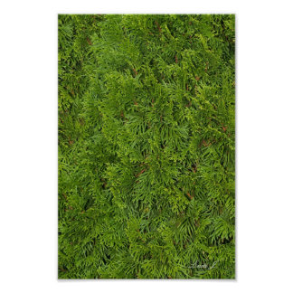 Evergreen Tree Background Canvas or Poster