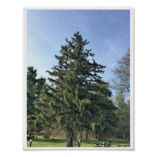 Evergreen Tree Poster