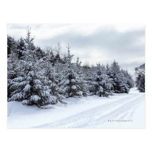 Evergreen trees and road in snow post cards