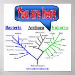 Evolutionary Tree Poster