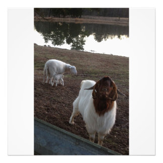 Ewe with twin lambs and billy goat photo print