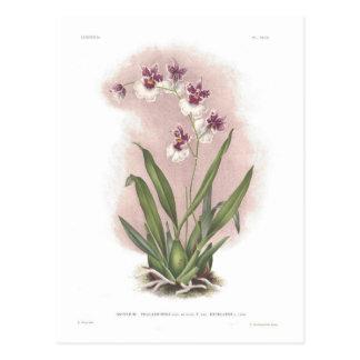 Excellens del var del phalaenopsis de Oncidium Postal
