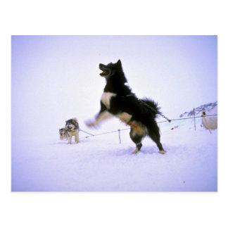 Excited sled dog postcard