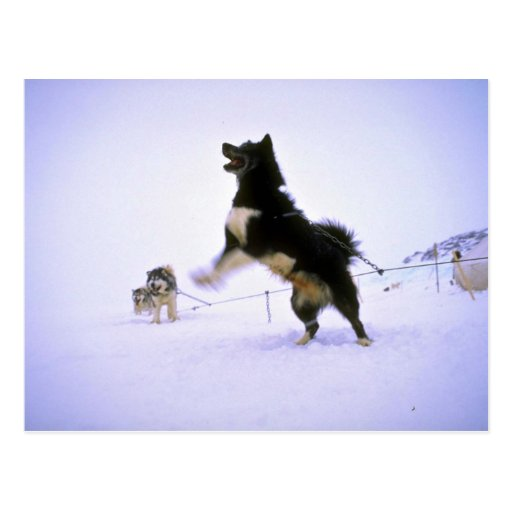 Excited sled dog postcard