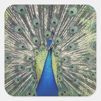 Exhibición masculina del pavo real (cristatus del calcomanías cuadradass