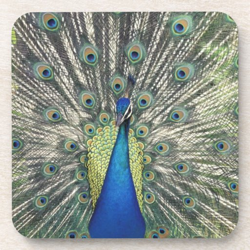 Exhibición masculina del pavo real (cristatus del  posavasos