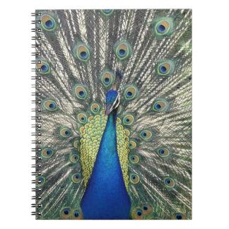 Exhibición masculina del pavo real (cristatus del  spiral notebooks