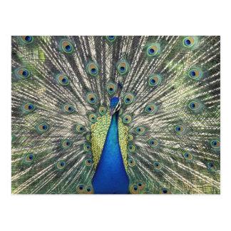 Exhibición masculina del pavo real (cristatus del tarjetas postales