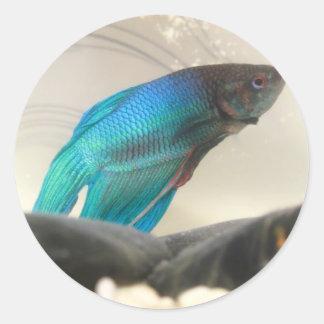 Exotic Betta Fish Closeup Stickers