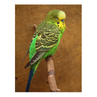 Exotic Budgie Bird Postcard