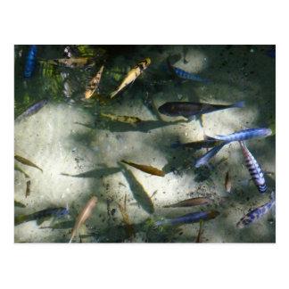 Exotic Fish Pond Colorful Animal Photography Postcard