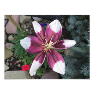 Exotic Lily Photo Print