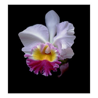 Exotic Orchid--poster Poster
