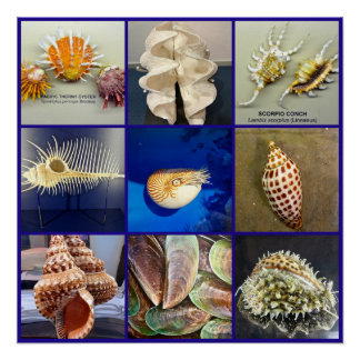 Exotic SeaShell Photography Sanibel Island Florida Poster