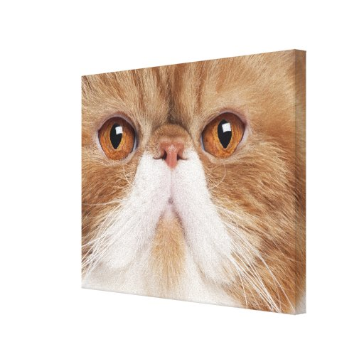 Exotic Shorthair (2,5 years old) Canvas Print