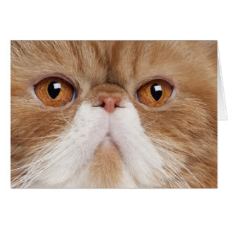 Exotic Shorthair 2 5 years old Greeting Cards