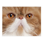 Exotic Shorthair (2,5 years old) Postcard