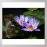 Exotic Waterlilies Print