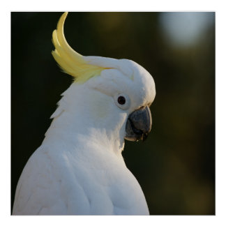 Exotic White Cockatoo Poster