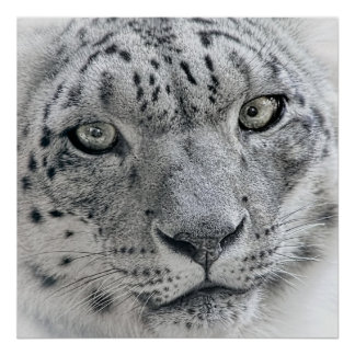 Exotic White Snow Leopard Poster