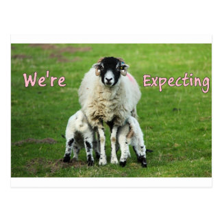 Expecting Twin Girl Announcement Mama & Baby Sheep Postcard