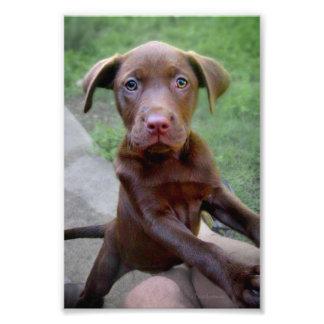 Exploración del perrito de Chocalate Labrador Pitt