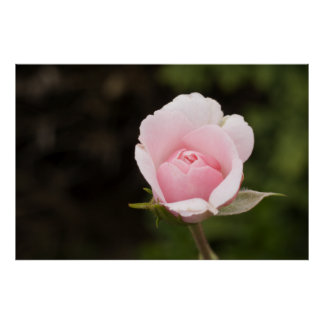 Exquisite Rose Picture - Fine Art Photography Poster