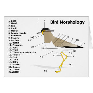 External Morphology of a Bird Vanellus Malabaricus Card