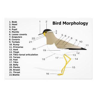 External Morphology of a Bird Vanellus Malabaricus Photo