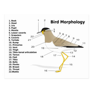 External Morphology of a Bird Vanellus Malabaricus Postcard