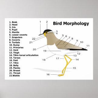 External Morphology of a Bird Vanellus Malabaricus Posters