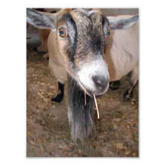 Extreme Close Up of a Billy Goat Eating Hay Photo Print