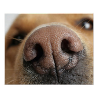 Extreme close-up of a dog nose. poster