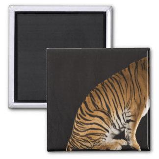 Extremo trasero del tigre que se sienta en la imán cuadrado