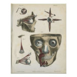 Eye Muscles and Skull Anatomy Print