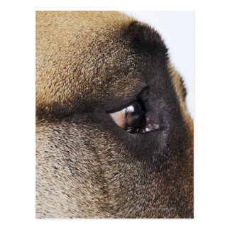 Eye of Great Dane Postcard