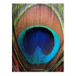 Eye of the Peacock Feather Close-Up Postcard