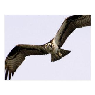 Eye of the Sea Hawk Postcard