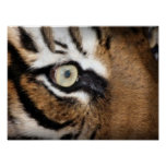Eye Of The Tiger Photograph Posters
